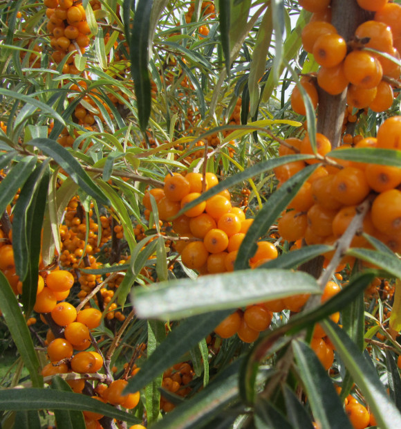 Grow seabuckthorn